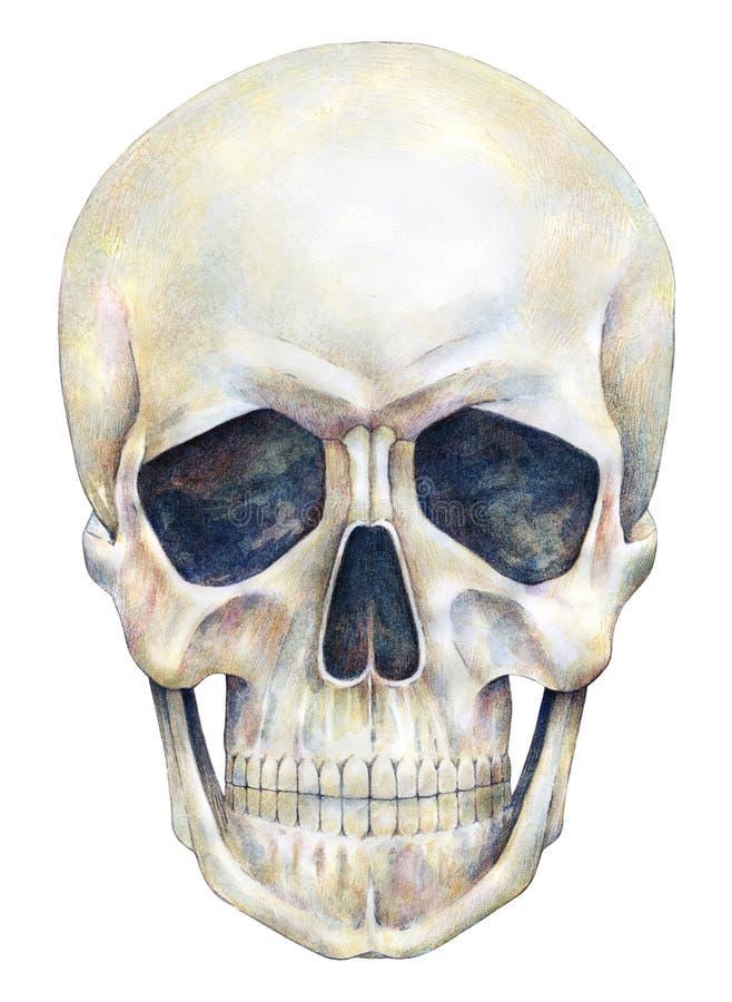 Aíslan a la persona humana del cráneo en un fondo blanco Gráfico de la acuarela libre illustration
