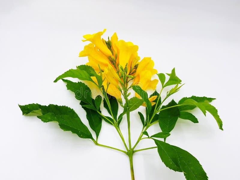 Aîné jaune de beau bouquet jaune de fleur, Trumpetbush, Trumpetflower avec les feuilles vertes d'isolement sur le fond blanc photos libres de droits