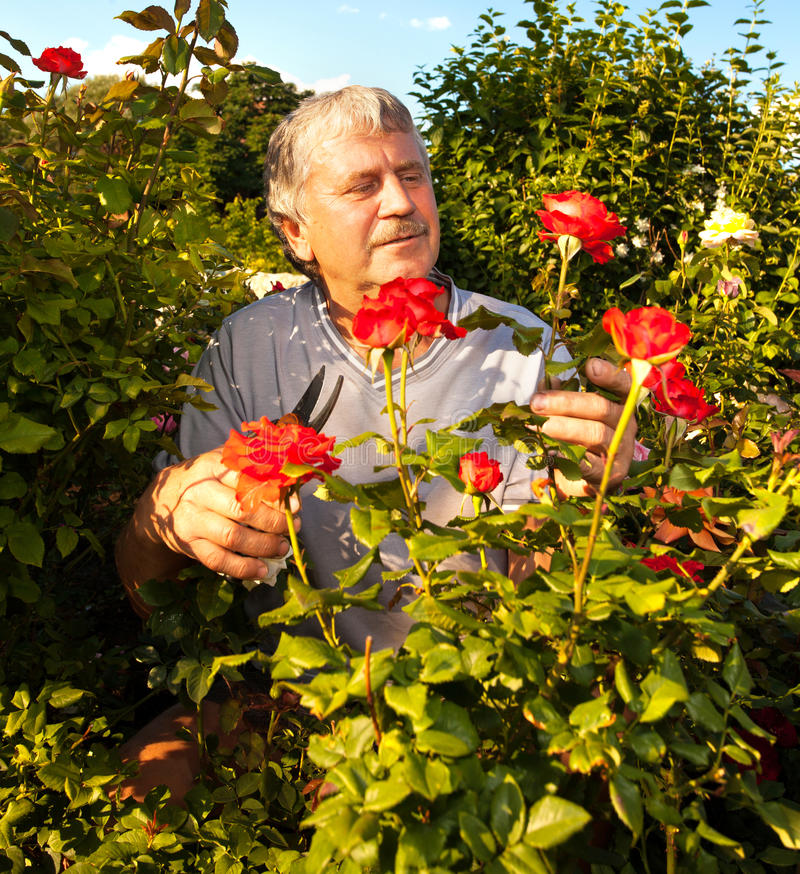 Aînés s'inquiétant des roses dans le jardin photos stock