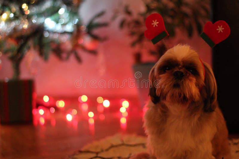 Año Nuevo de ShihTzu fotografía de archivo