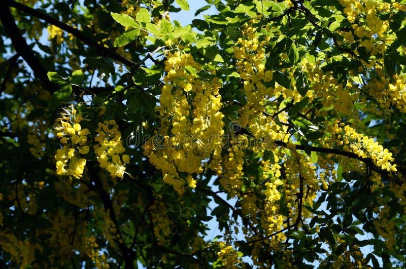 Żałości gałąź z żółtymi wiązkami kwiaty zdjęcia royalty free