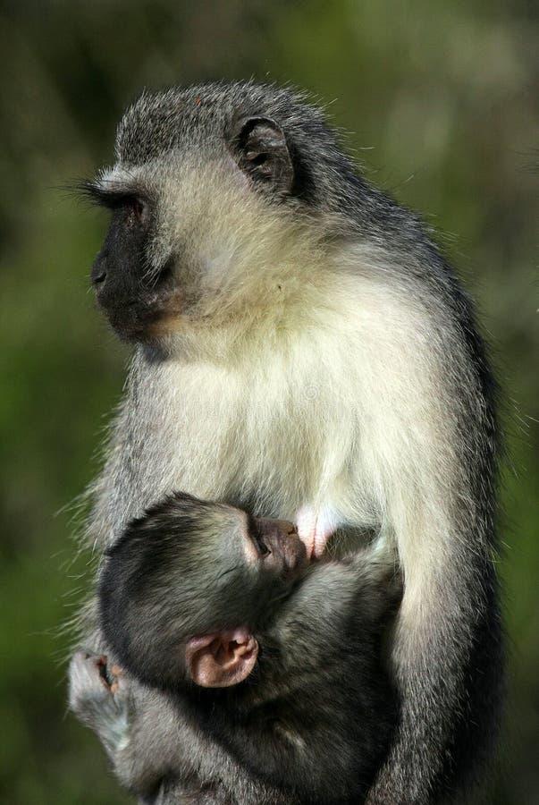 Free A Baby Vervet Monkey Suckling Stock Photo - 24219950