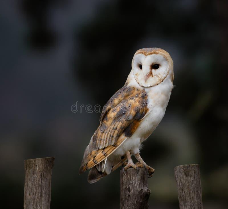 Free A Beautiful Barn Owl, Close-up. Stock Photography - 78970322