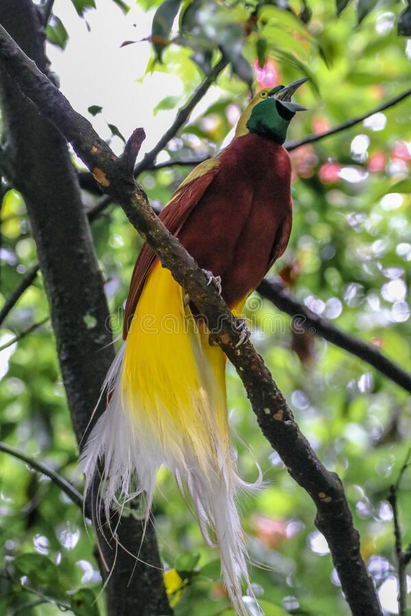 Free A Beautiful Bird Of Paradise From Papua Royalty Free Stock Photo - 178057945