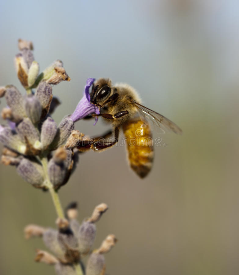Free A Bee On A Lavender Plant Royalty Free Stock Photo - 10785295