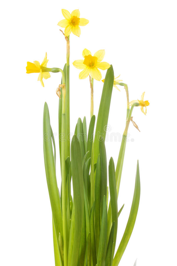 Free A Bunch Of Daffodils Isolated On White Royalty Free Stock Image - 13230526