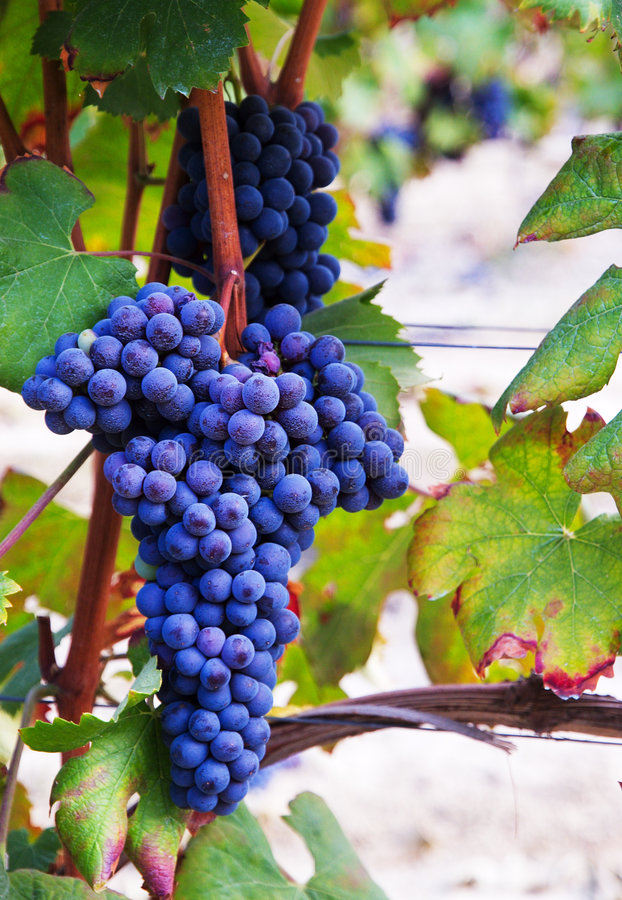 Free A Bunch Of Grapes Royalty Free Stock Image - 6391596
