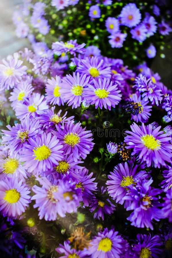 Free A Bunch Of Purple Ultraviolet Aster Flowers Under A Bokeh Of Sunlight Stock Photography - 111963332