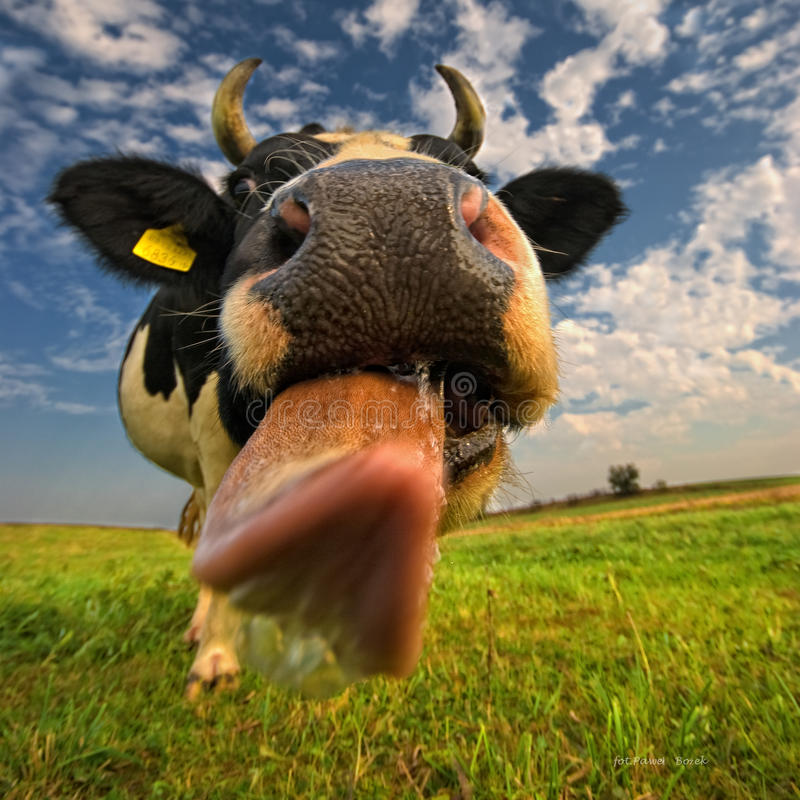 Free A Close Up Of A Cow S Head. The Cow Is Sticking Out Its Tongue. Royalty Free Stock Image - 50738306