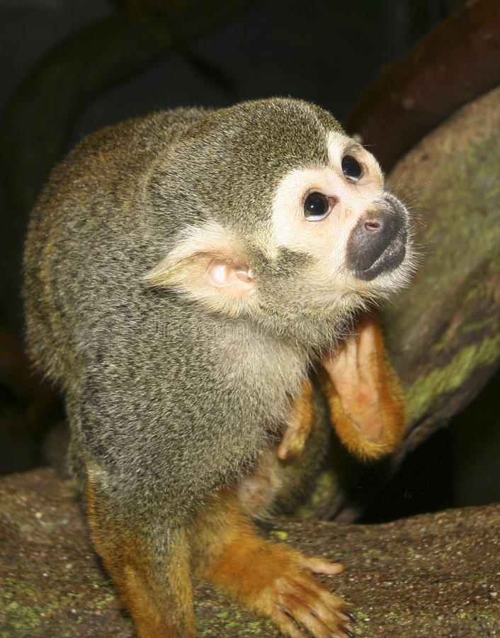 Free A Close Up Of A Squirrel Monkey Stock Photography - 20780832