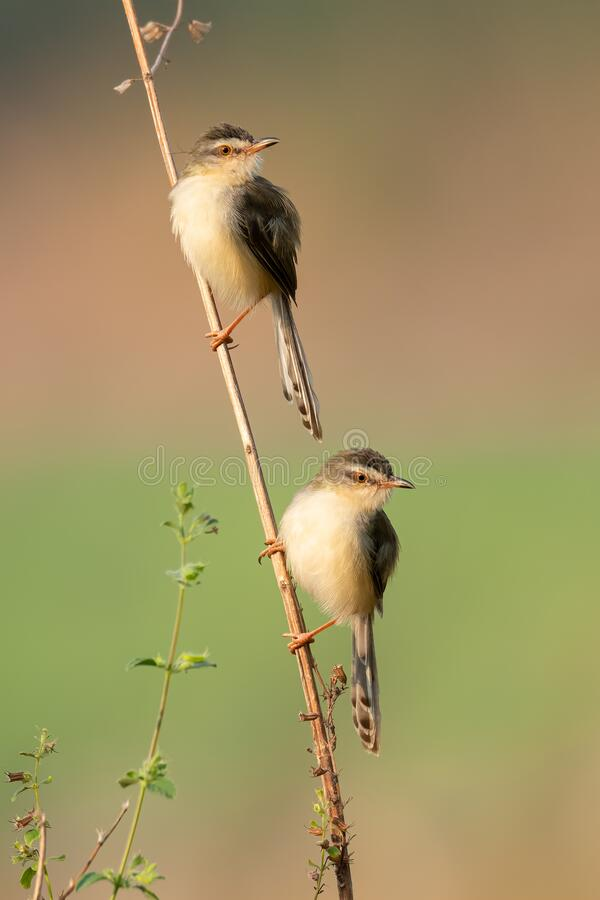 Free A Couple Of Plain Prinia Perching On A Tree Stem Royalty Free Stock Photography - 215896307