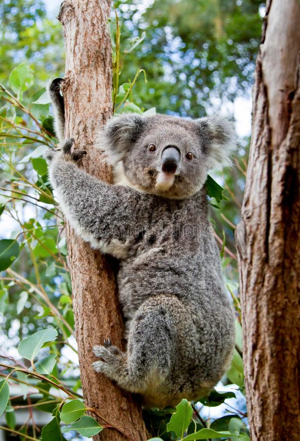 Free A Cute Koala Clinging To The Trunk Of A Eucalyptus Tree In Australia Royalty Free Stock Photography - 128364087