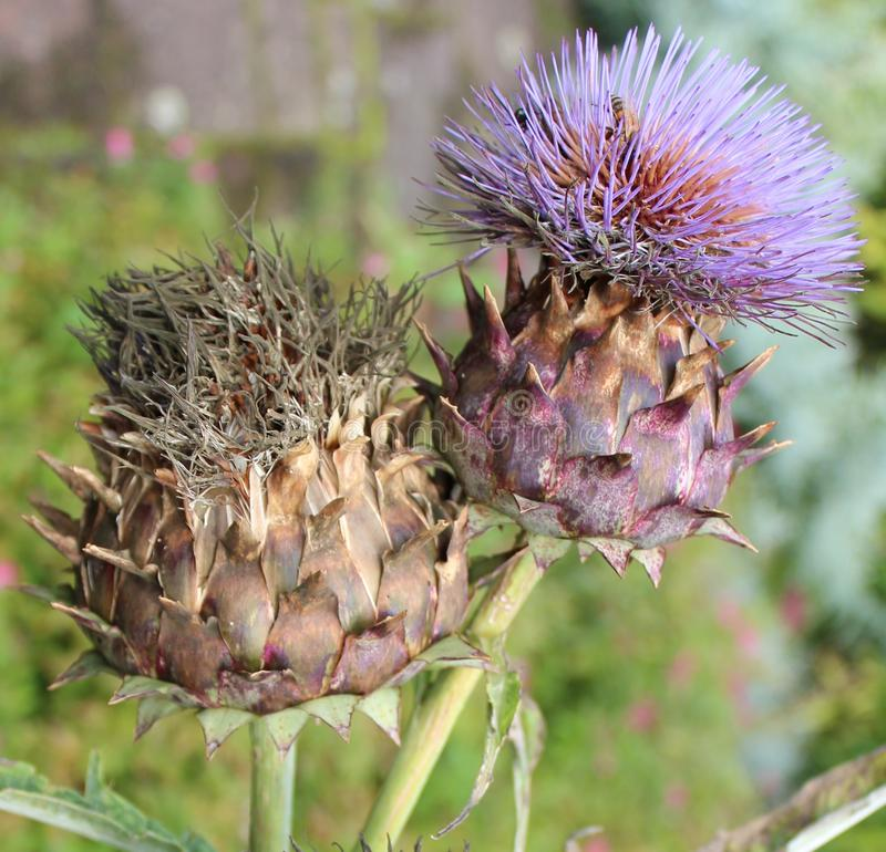 Free A Decorative Artichoke Thistle Called Cardoon Royalty Free Stock Photography - 110139257