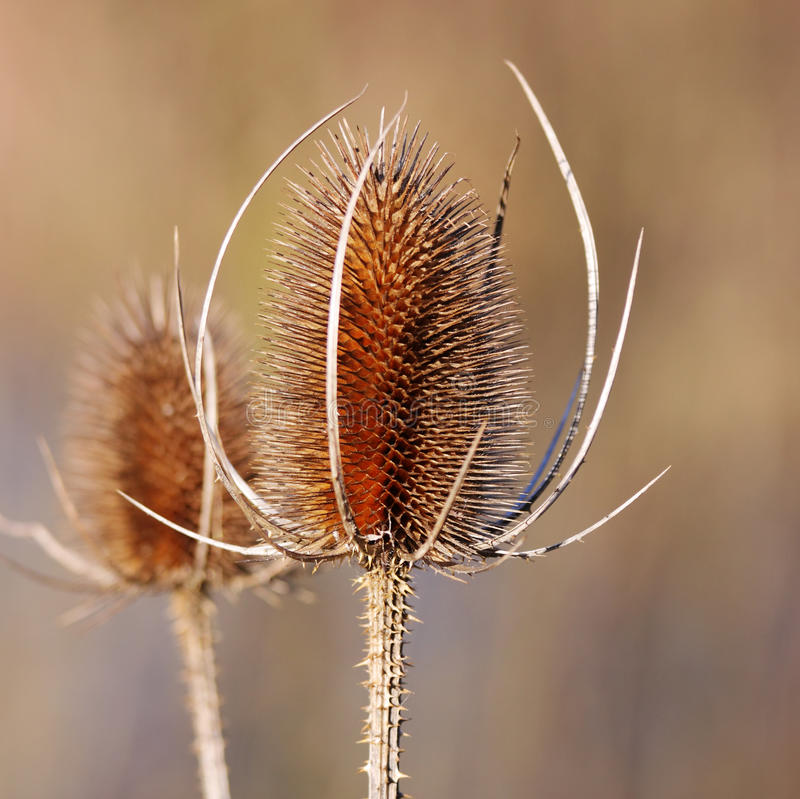 Free A Dried Thistle Flower Stock Photography - 12372432