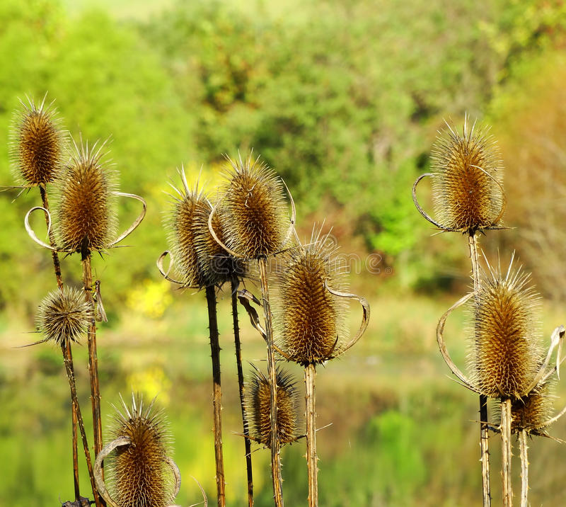 Free A Dry Thistles Gone To Seeds – Cirsium Vulgare Royalty Free Stock Images - 61530149