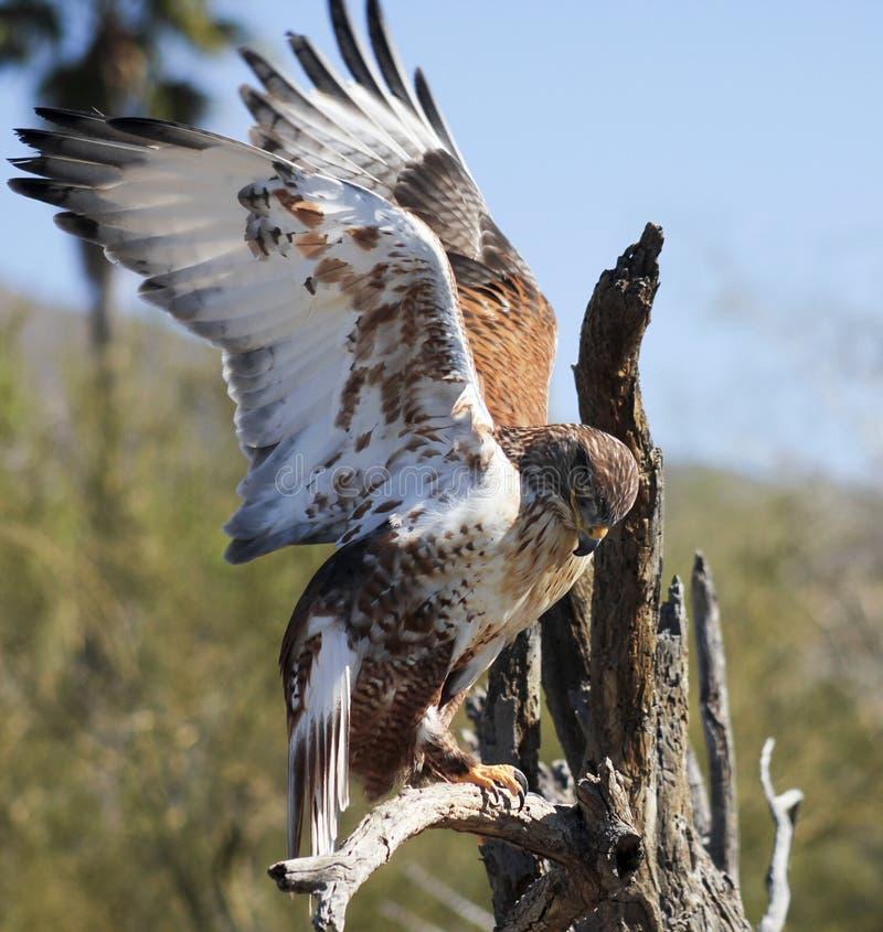 Free A Ferruginous Hawk On An Old Snag Royalty Free Stock Photos - 51544958