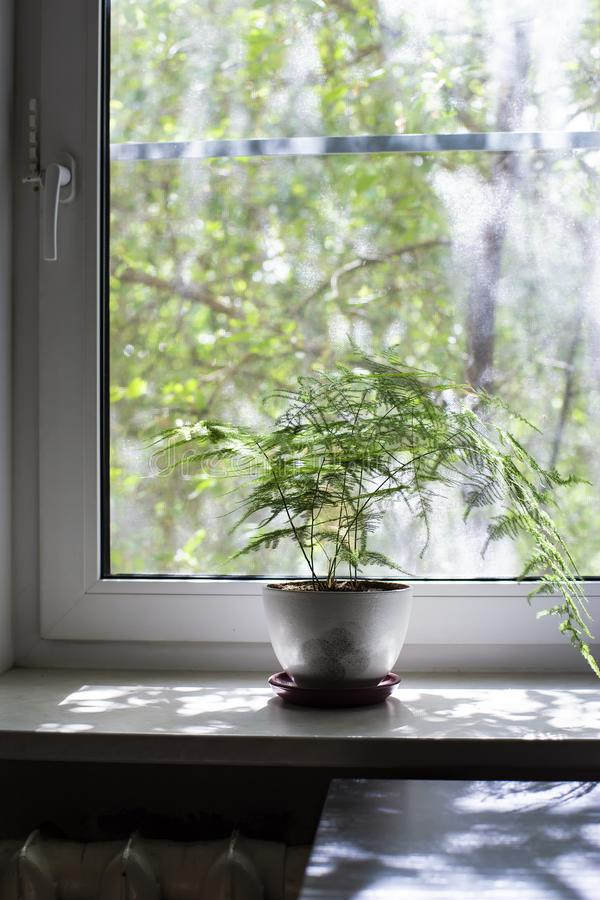 Free A Flower In A Pot Stands On The Windowsill Of A Closed PVC Window With A Mosquito Net, On A Blurred Background A Tree In The Stock Photo - 136198300