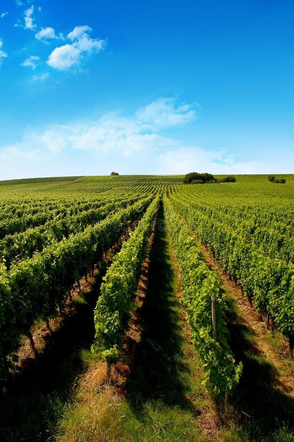 Free A German Vineyard Near The Rhe Royalty Free Stock Photography - 2828567
