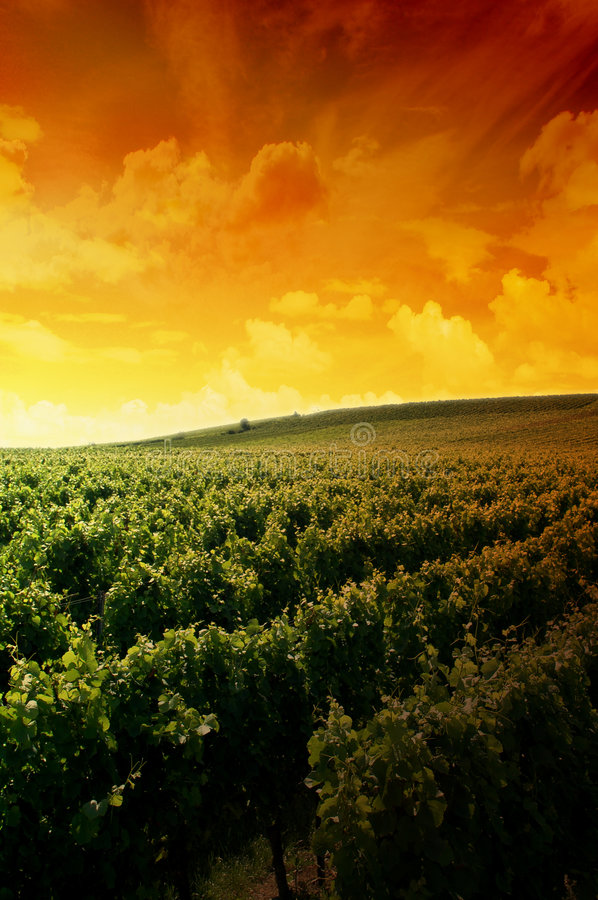 Free A German Vineyard Near The Rhe Stock Images - 3041964