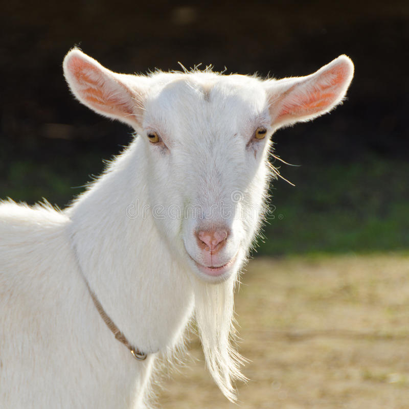 Free A Goat. Royalty Free Stock Photography - 19709197