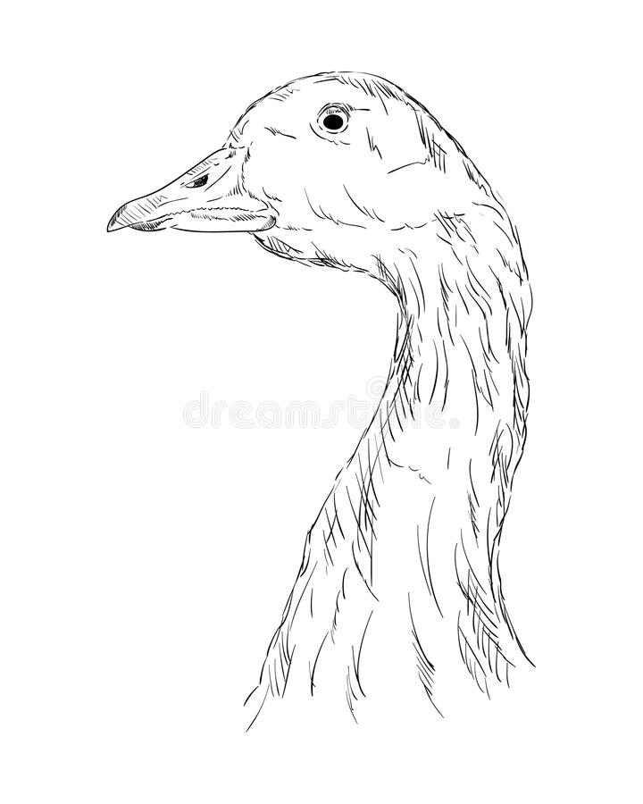 Free A Goose Head Stock Image - 48465661