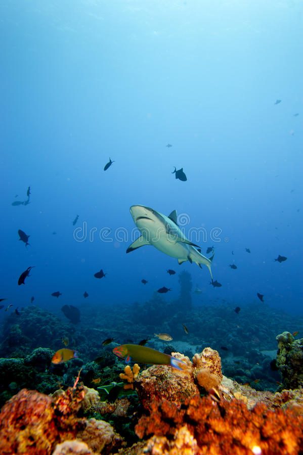 Free A Grey Shark Jaws Ready To Attack Underwater Portrait Royalty Free Stock Photography - 31658917