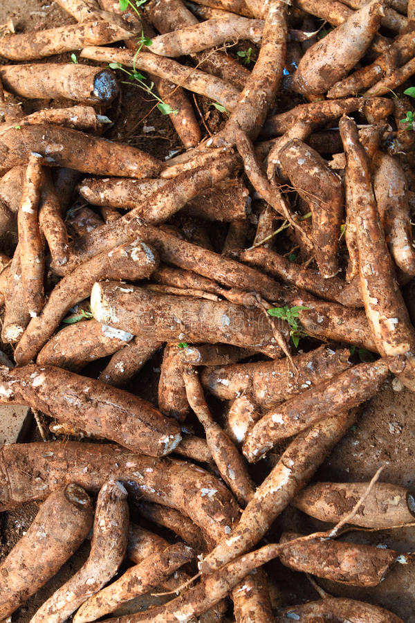 Free A Harvest Of Cassava Stock Photo - 24365910