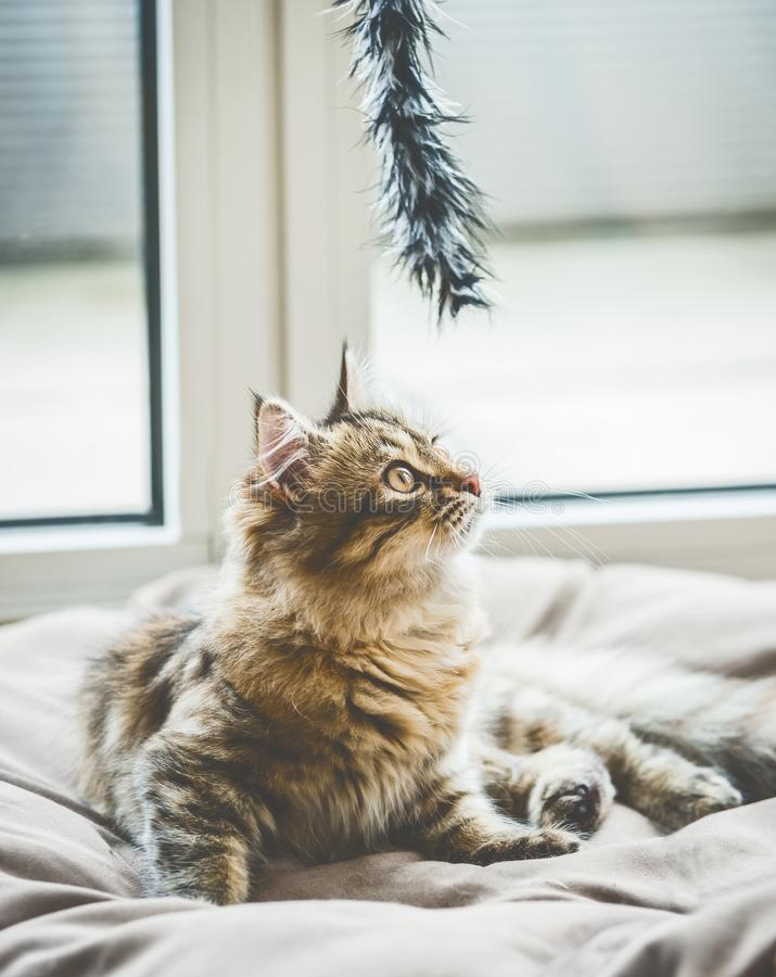 Free A Kitten Is Interested In A Hanging Cat Toy Royalty Free Stock Image - 120218146