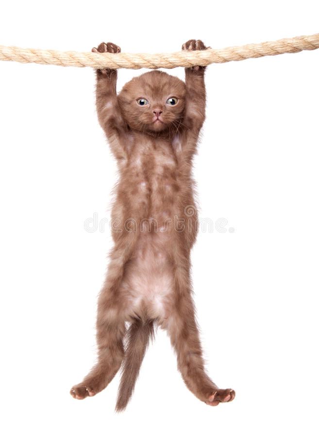 Free A Little Scottish Fold Kitten On The Rope Royalty Free Stock Image - 19803436