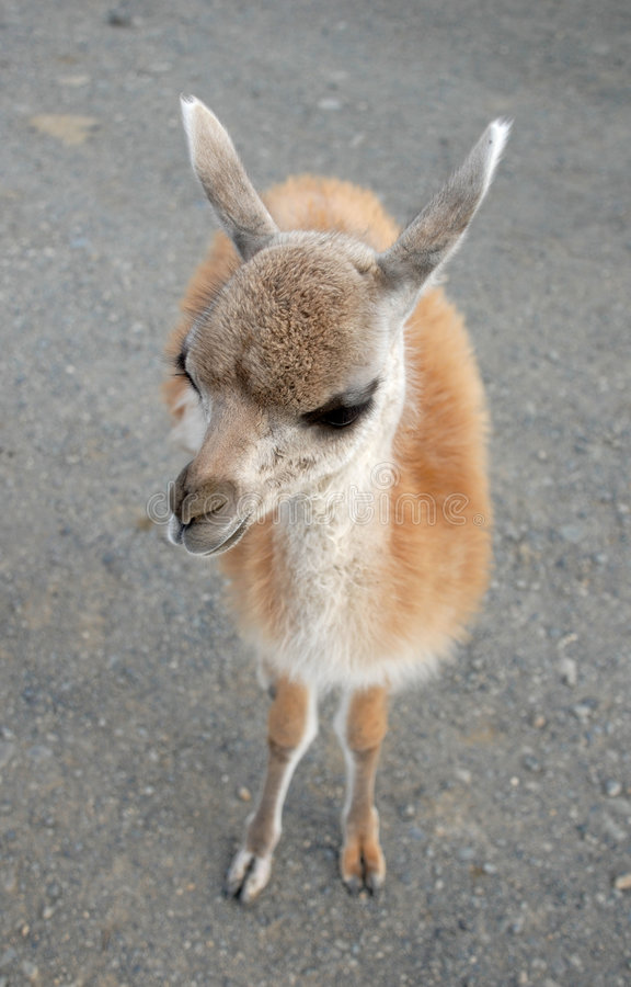 Free A Photo Of Baby Of Guanaco Stock Images - 4775224