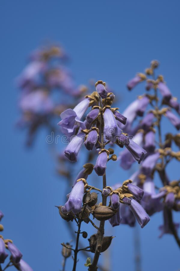 Free A Picture Of The Paulownia Flowers.     Vancouver BC Canada Royalty Free Stock Photography - 218109437