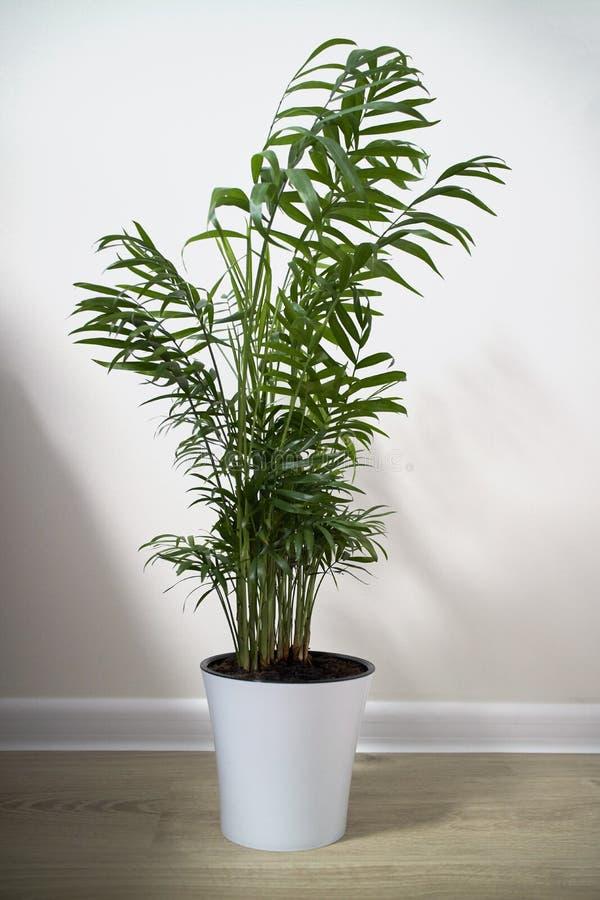 Free A Potted Plant Chamaedorea Elegans On White Royalty Free Stock Image - 111410416