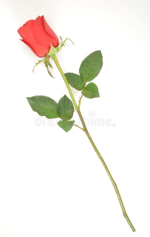 Free A Red Rose Royalty Free Stock Photography - 12850107