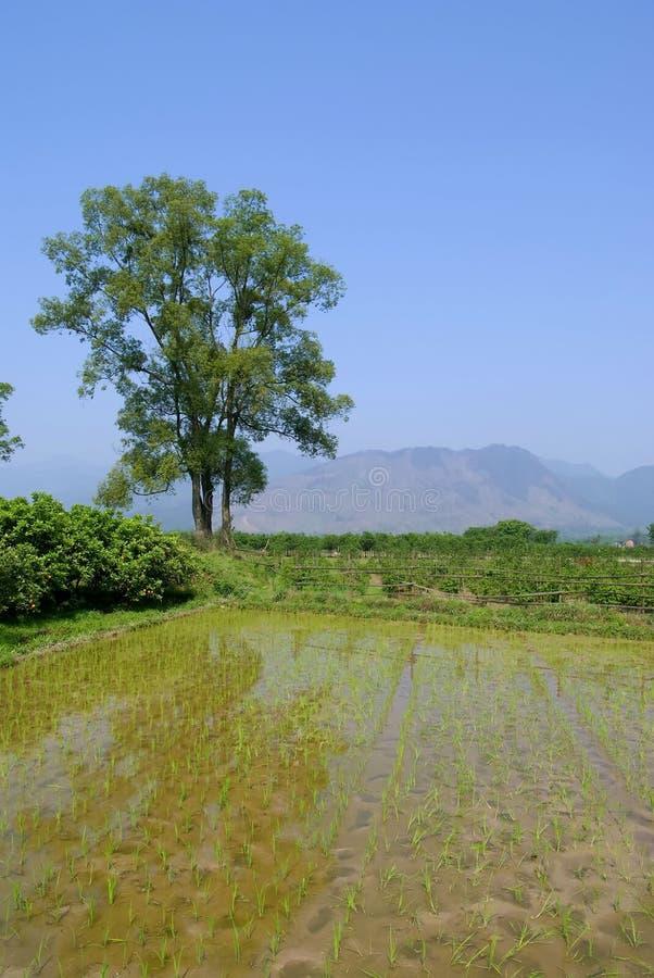 Free A Ricefield At China Royalty Free Stock Images - 5149779