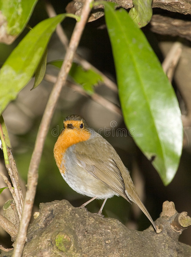 Free A Robin Royalty Free Stock Photo - 4987765