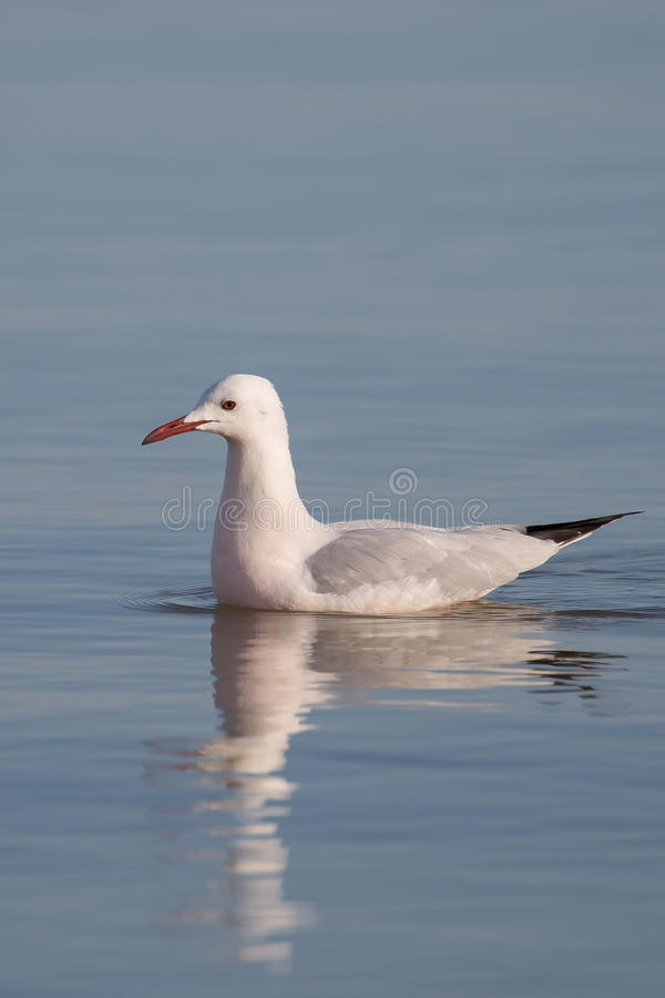 Free A Slender Billed Gull Swimming With Reflection Stock Photo - 85535610