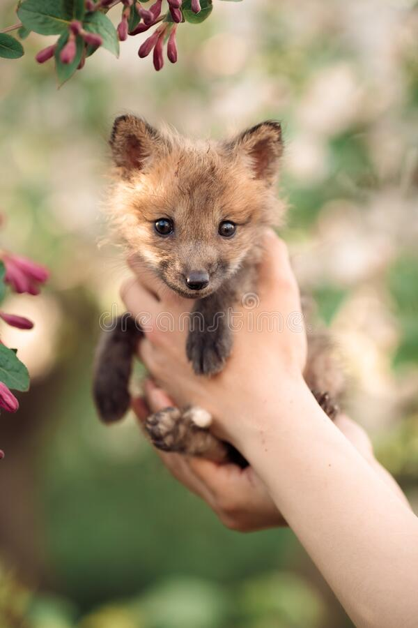Free A Small Red Fox Cub In The Green Grass Blooming Maroon Bushes And Flowers, In The Hand Of A Man Royalty Free Stock Photo - 220795945