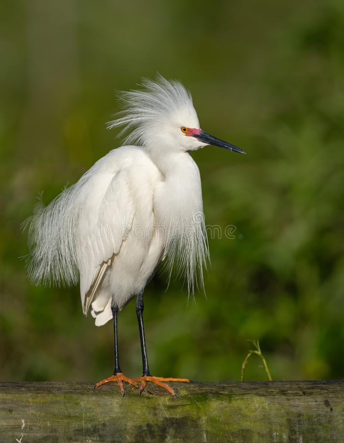 Free A Snowy Egret In Florida Royalty Free Stock Photos - 155853518