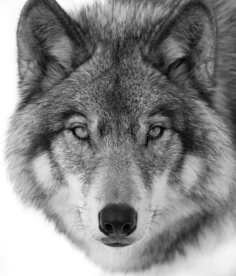 Free A Timber Wolf Or Grey Wolf Canis Lupus Portrait In Black And White Isolated On White Background Close-up In Winter In Canada Stock Images - 185779254
