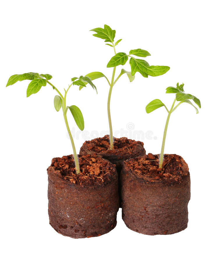 Free A Tomato Seedling In The Peat Pot, Isolated Stock Photos - 40814293