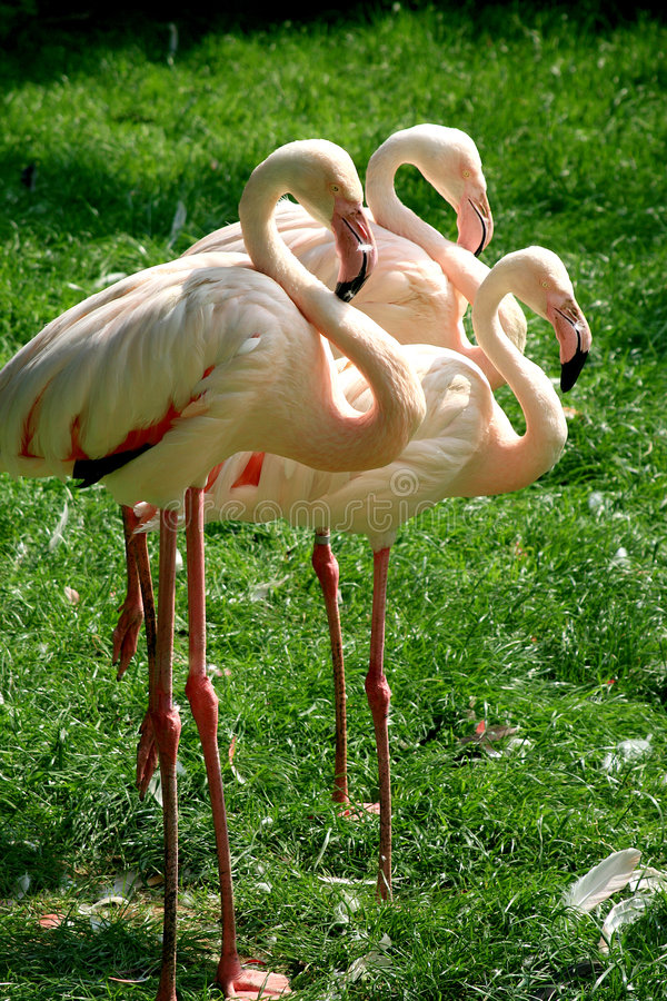 Free A Trio Of Flamingos Stock Photos - 2585313