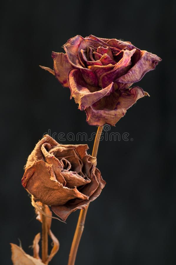 Free A Two Wilting Rose On Dark Background Stock Images - 17691304