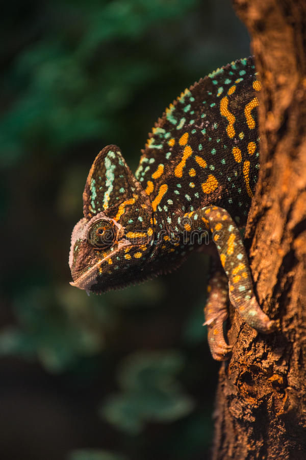 Free A Veiled Chameleon Lizard Stock Image - 39243041