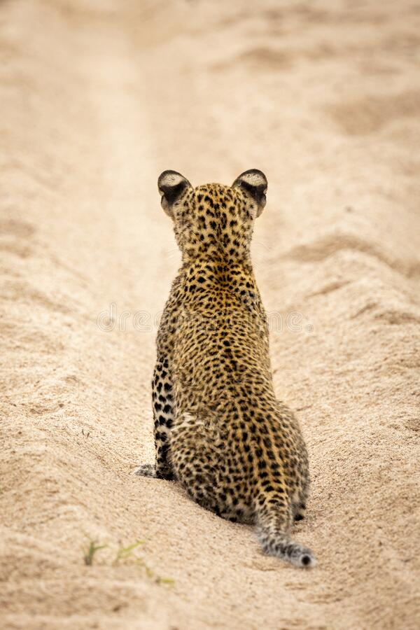 Free A Vertical Portrait Of Cute Baby Leopard Cub Spotty Back Facing Away From Camera In Kruger Park South Africa Royalty Free Stock Image - 193925706