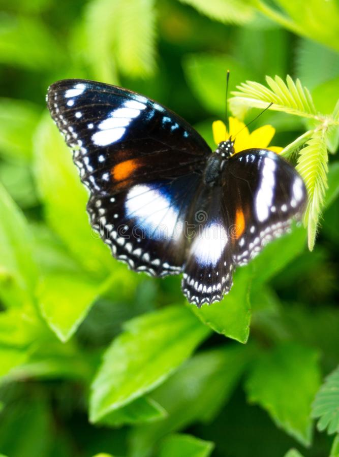 Free A White Doted Black Butterfly Royalty Free Stock Photo - 133637795