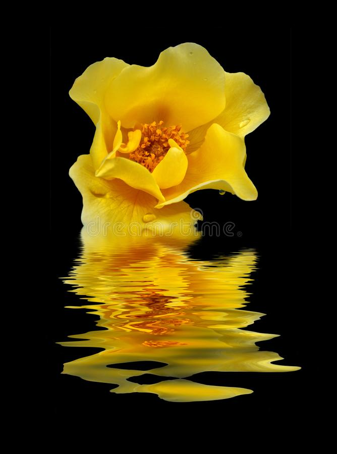 Free A Yellow Rose Reflected On Black Water Royalty Free Stock Images - 157573879