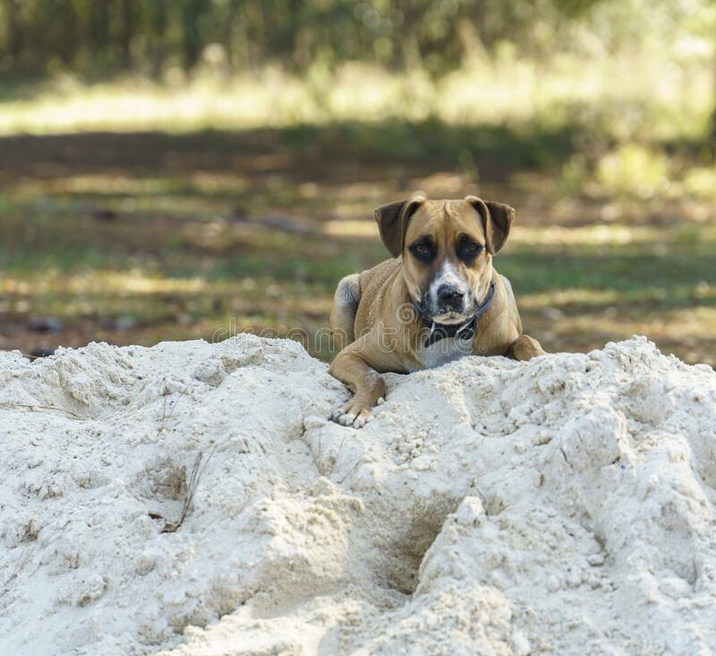 Free A Young Blackmouth Cur Dog On A Sandpile Royalty Free Stock Photography - 202491117