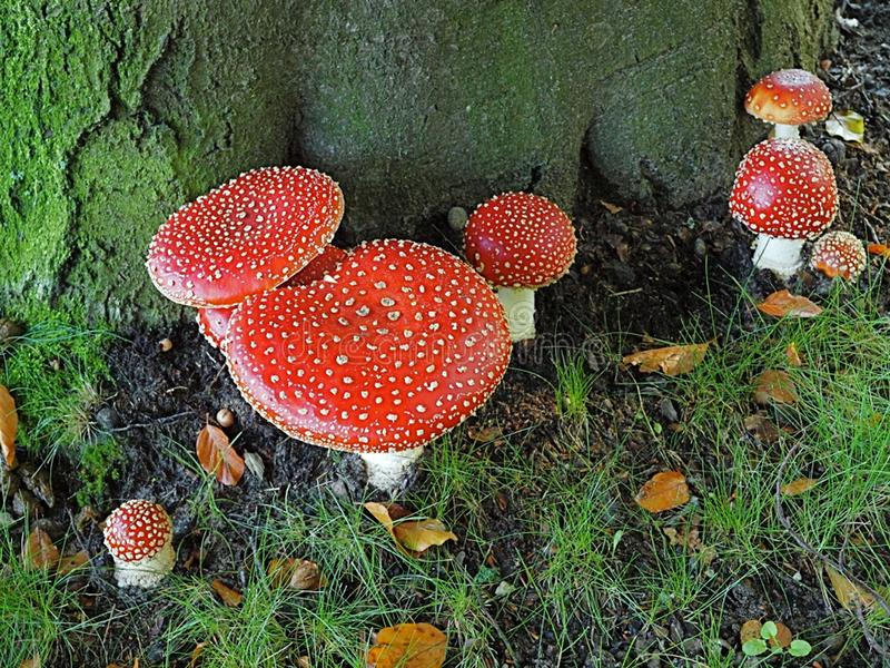 Multiple anita muscari, mushrooms at the base of a beech. Autumn in the forest means that you can encounter several anita muscari at the base of a beech royalty free stock photo