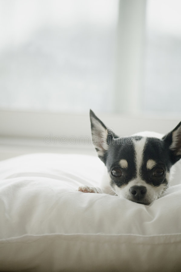 Aalende Chihuahua lizenzfreie stockfotografie