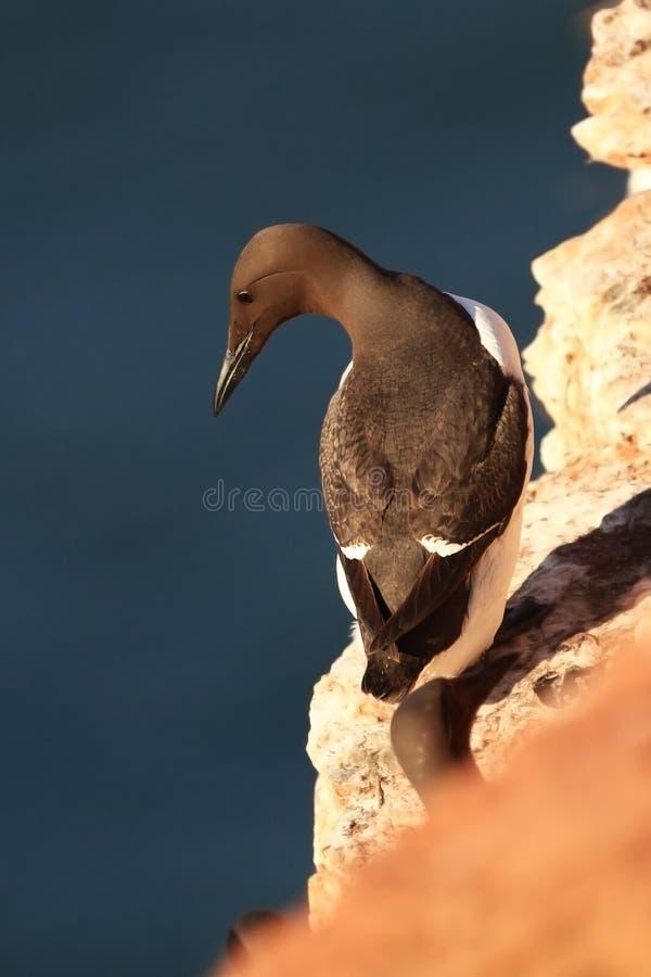 Aalge d'Uria La nature sauvage de la Mer du Nord Un oiseau sur une roche au-dessus de la mer images libres de droits